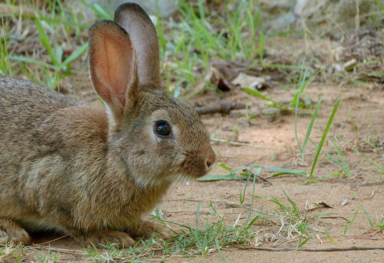 Picture of European Rabbit