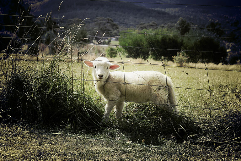 Picture of Lamb
