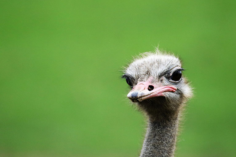 Picture of Ostrich