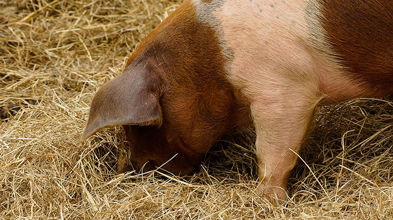 Picture of Pork