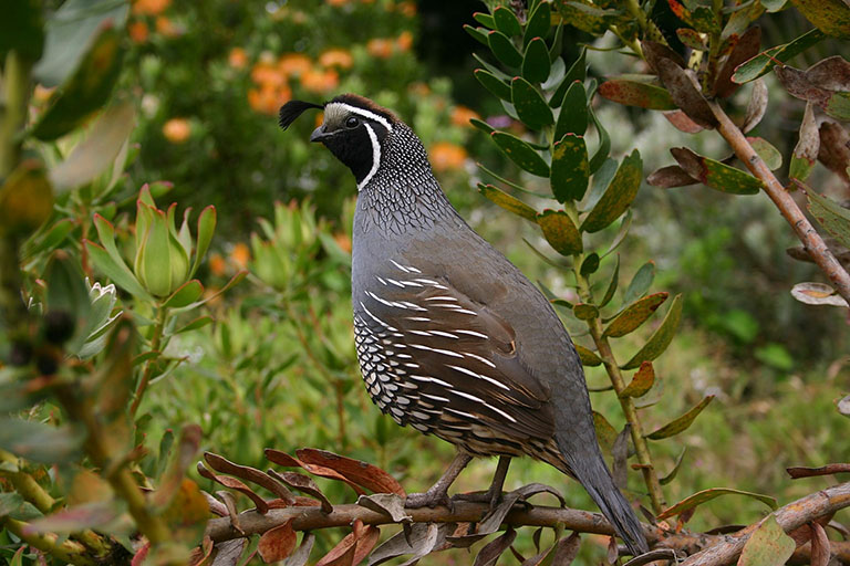 Picture of Quail