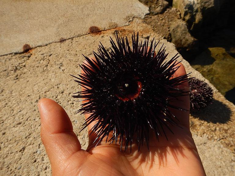 Picture of Sea Urchin