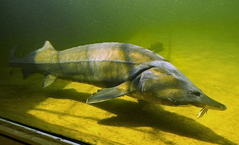 Picture of Sturgeon
