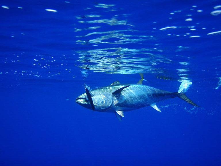 Picture of Tuna